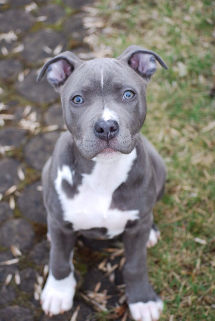 Amstaff Amstaff Cute Baby Blue Nose Pitbull Puppies