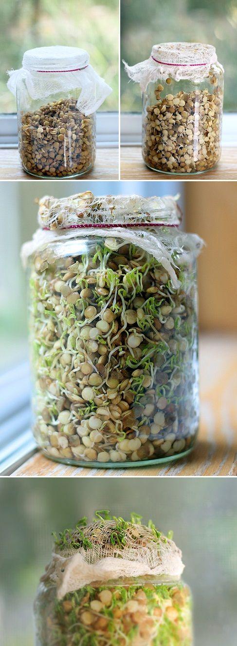 Alternative Gardning: Sprouting Green Lentils