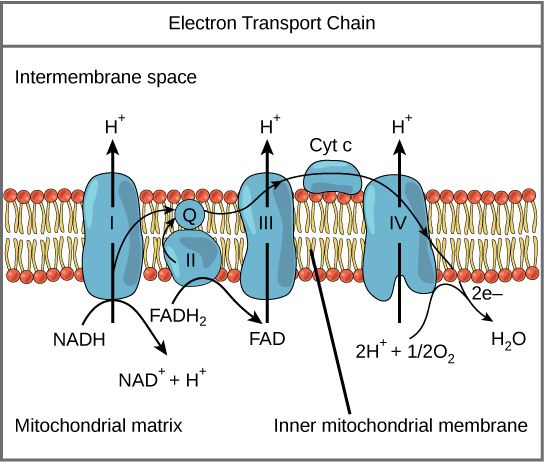 Electron transport chain - Boundless open textbook.