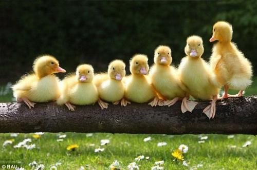 All your duck(ling)s in a row. Farmer Chris Murray said: 'The ducklings had been…