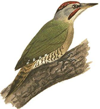 アオゲラ|日本の鳥百科|サントリーの愛鳥活動