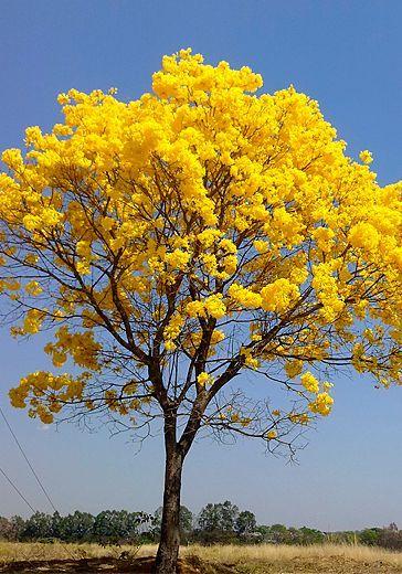 """casadagata: """" Ipê Amarelo - Tabebuia chrysotricha """""""