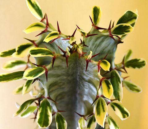 Euphorbia erythraea forma variegata