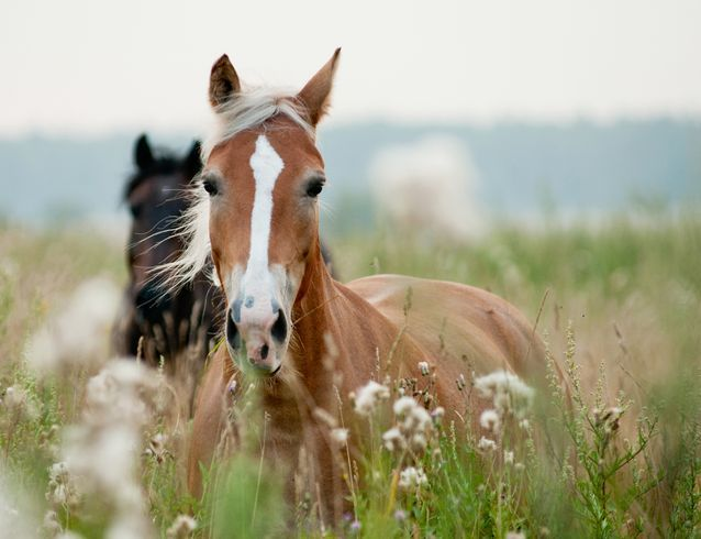 """Many-muscled ears help horses hear A horse can shift its ear to facing forward to facing backward, and that kind of movement requires a lot of muscles.  According to Ashley Griffin, MS, University of Kentucky, """"Horses' ears can move 180 degrees using 10 different muscles (compared to three muscles for the human ear) and are able to single out a specific area to listen to."""
