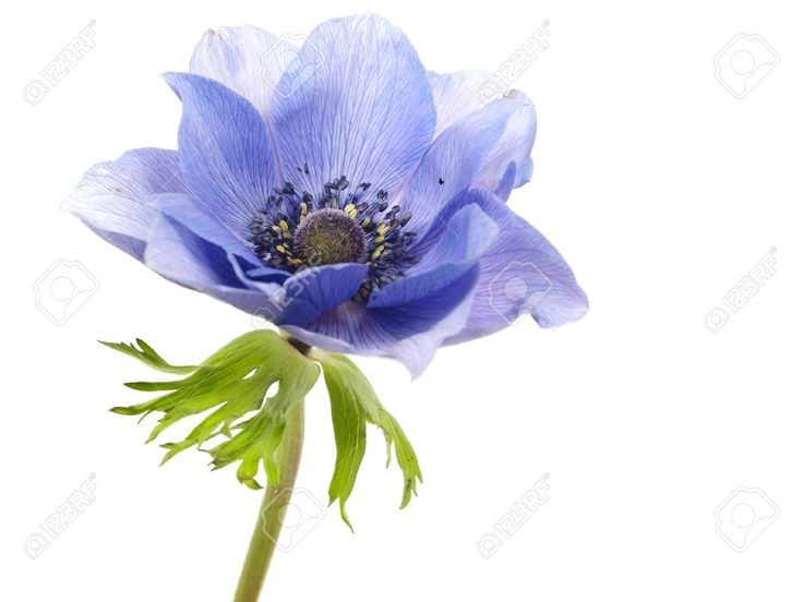 14641101-flowers-of-anemone-on-a-white-background-Stock-Photo.jpg (1300×975)