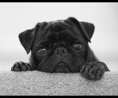 Pug via WeHeartIt: pug