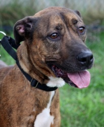 Hunni Bear is an adoptable Shepherd Dog in Jersey City, NJ. Hunni Bear is my name being the sweetest girl here at LHS is my game. I am a 3 and half year old, Belgian/Malawa Mix now say that 5 times fa...