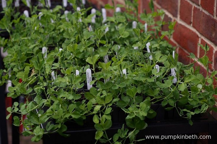 I have always achieved excellent results, growing my sweet peas in peat free compost. For my 2016 Sweet Pea Trial I used Dalefoot Potting Compost, a peat free compost made from natural ingredients, including sheep's wool.