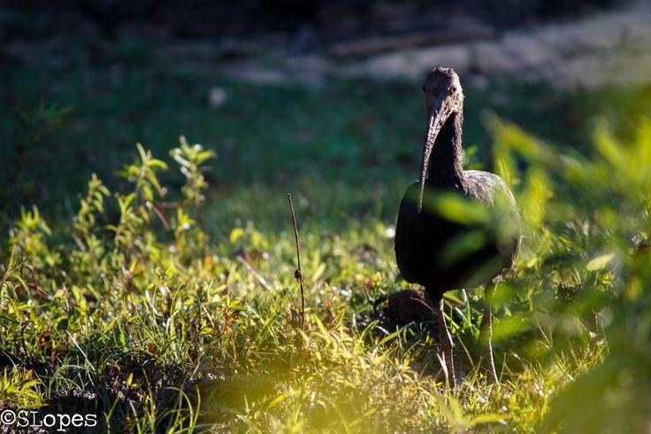 CORÒ_CORÒ O coró-coró é uma ave pelecaniforme da família Threskiornithidae, sendo a única espécie florestal desta família. Recebe os nomes populares de caraúna, curubá, curicaca-parda, tapicuru, íbis verde e coroca. Nome Científico Seu nome científico significa: do (grego) mesëmbrinos = do sul, sulino; e ibis = a ave íbis; e de cayannensis = originário de Cayena, na Guiana Francesa. ⇒ Íbis do sul, de Cayena.