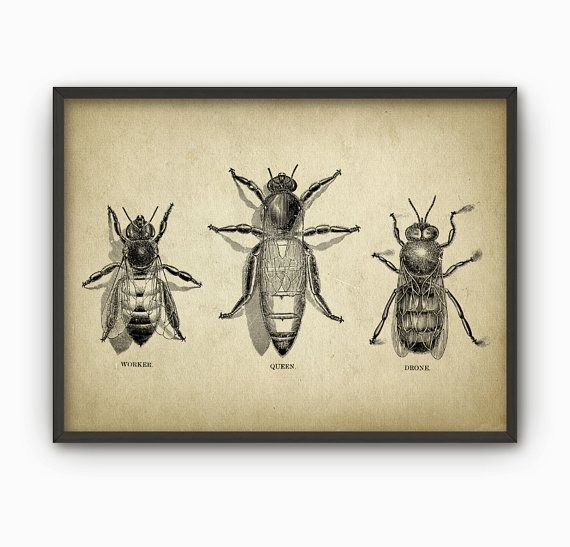 Vintage Beekeeping Print Set Of 3 - Queen Bee - Worker Bee - Drone Bee - Honey Bee - Beehive - Beekeeping - Bee Illustration - Melittology  This Vintage Beekeeping poster is printed using high quality archival inks on heavy-weight archival paper with a smooth matte finish. A fantastic