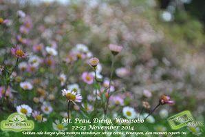 Daysi flower, bunga khas bukit teletubbies prau