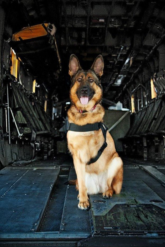 Lucca is an amputee veteran who served six years in the United States Marine Corps as a Specialized Search Dog. | It's Time To Honor Lucca,