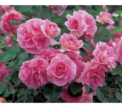 Everblooming Rose Quot Carefree Wonder Quot Low Maintenance