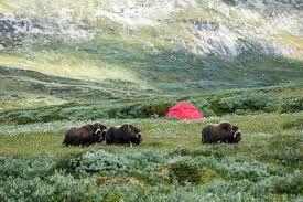 Myskoxe (Ovibos moschatus) är ett slidhornsdjur som tillhör underfamiljen Caprinae. Djuret lever på den arktiska tundran framför allt i Grönland, Kanada och Alaska. Små flockar har inplanterats i Tajmyrien (i Ryssland), och i Dovrefjäll Norge. En grupp med myskoxar från Dovrefjäll vandrade 1971 in i Härjedalen varpå en svensk stam etablerades.
