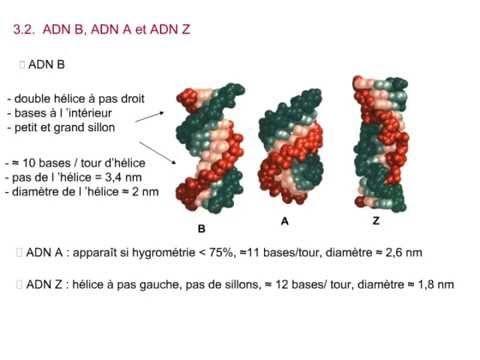 Cours de Biologie moléculaire - Chapitre 2/8 : Acides nucléiques et génomes - YouTube