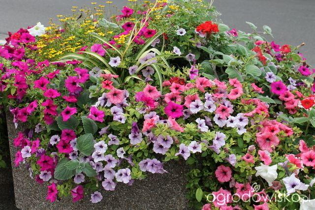 Letnie skrzynki balkonowe i donice - strona 7 - Forum ogrodnicze - Ogrodowisko