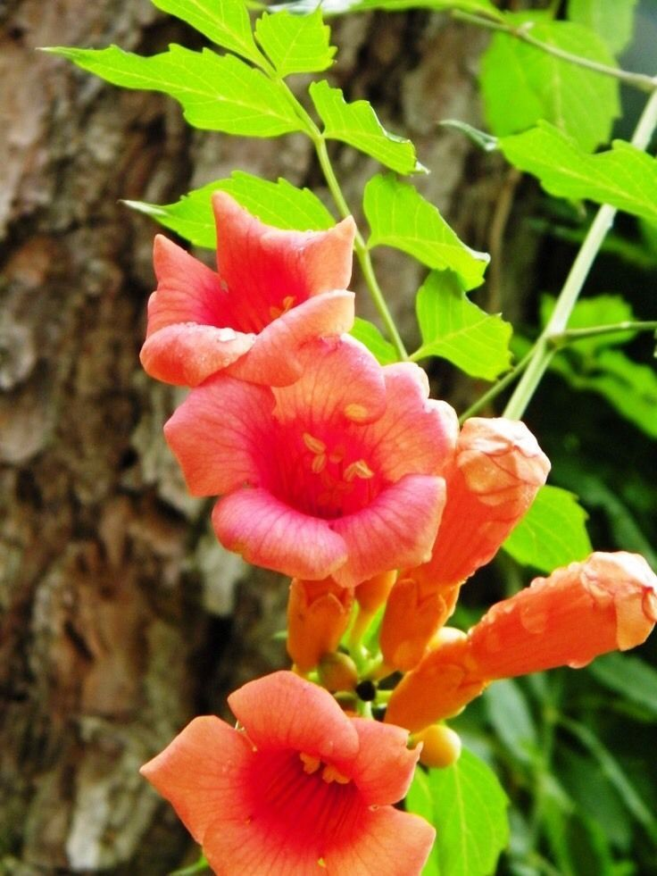 "Trumpet-Hummingbird Vine 1-cutting Vine 8""  Campsis radicans 