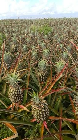 Maui Pineapple Tours...not as much fun as when Dad took us to Aunt Laura's grove and we picked our own! Lol