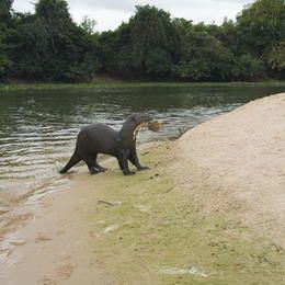 Pantanal Conservation Area, Brazil to see giant otters, capybaras and anteaters