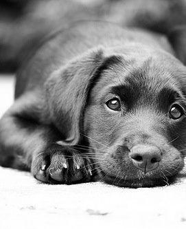 Animals Gallery » A Lab puppy♥