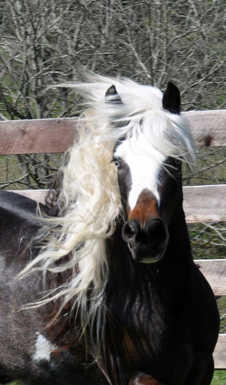Pumpkin Pie Blizzard | Westmoreland Gypsy Vanner Horses