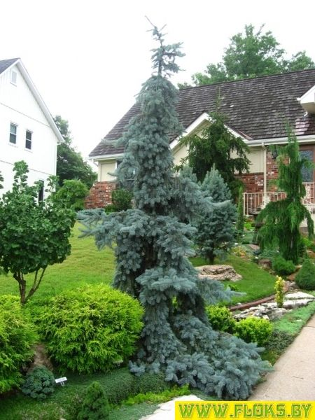 Picea pungens 'Pendula': 12 тыс изображений найдено в Яндекс.Картинках