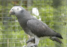 The most commonly know types/subspecies of african grey parrots are : The Congo African Grey (CAG) The Timneh African Grey (TAG)