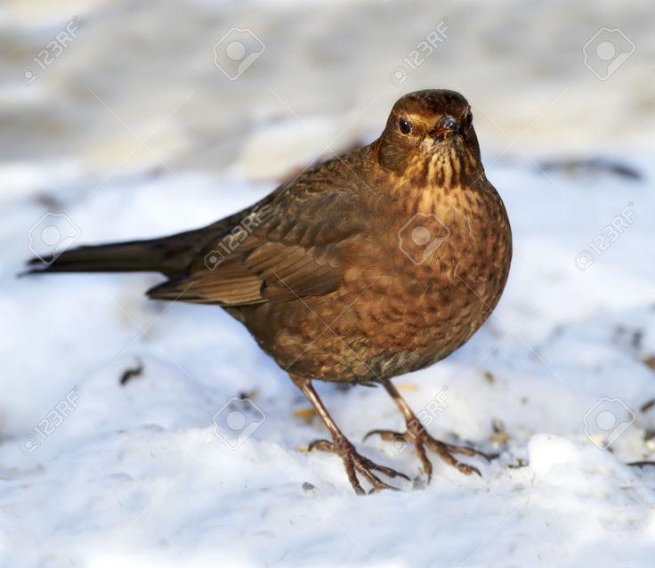 female blackbird - Google Search