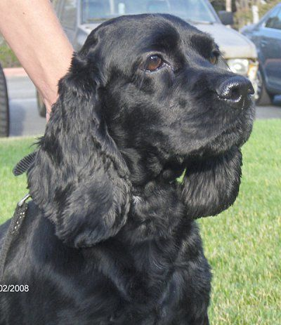 i am in love with black cocker spaniels :) a friend of mine has the sweetest dog named Max and his fur feels like velvet :)