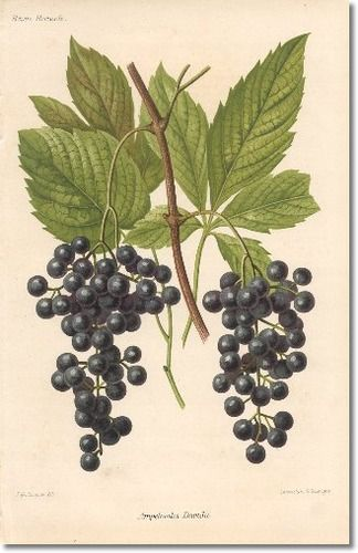 ♥Revue Horticol - Botanical Print - Illustrated Book Plate Illustration from Revue Horticole 1800s - Botanical Print -  09 - WINE GRAPE Painting