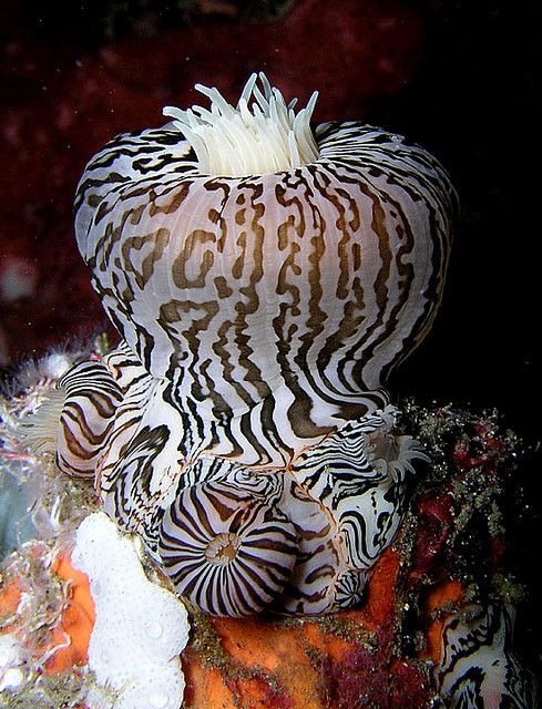 ✿ Zebra Stripes Sea Anemone ~ Nick Hobgood ✿
