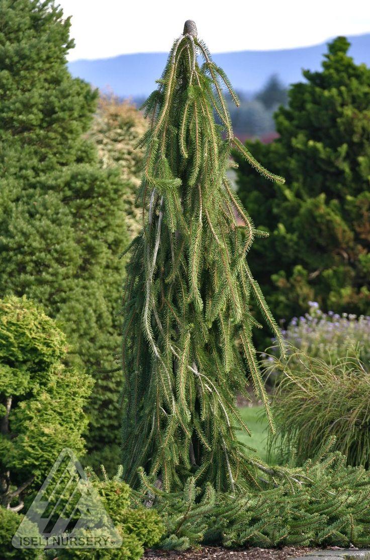 Kigi Nursery - Picea abies ' Cobra ' Weeping Creeping Norway Spruce, $20.00 (http://www.kiginursery.com/spruces/copy-of-picea-abies-pendula-weeping-norway-spruce-1/)