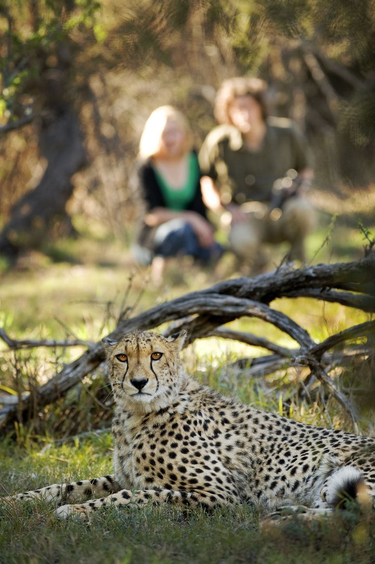South Africa Safari Lodge, Samara Private Game Reserve is home to a magnificent cheetah, named Sibella. Saved from hunters, she survived to produce 18 cubs and is responsible for 2% of South Africa's cheetah population