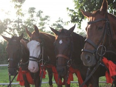 Polo Horses at the Jaipur Polo Club, Rajasthan, India