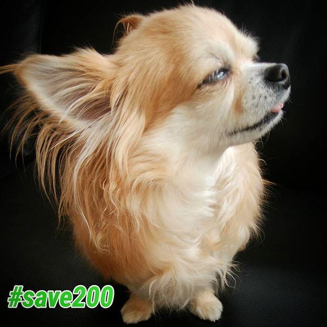 〖山口県の2000の野犬を救え!プロジェクト〗  #save200 ・人間にすてられた野犬たちの殺処分反対 ・(周南市の保有地に)犬を保護するためのシェルターの建設を求めます 『周南市の野犬ホロコーストを阻止しようキャンペーン』もしていますので、賛同していただける方はネット署名のご協力・拡散のほどよろしくお願い致します。  詳しくは「change.org周南市」で検索してください。 ※以前やっていた『周南市のかわいそうな野犬を助けようキャンペーン』は終了しています。  元飼い主やブリーダーなど無責任な人間が犬をすてたせいで、山口県周南市緑地公園には現在約200頭が野犬にならざるをえなくなりました。  周南市では餌やり禁止令がでており、野犬の餓死希望で虐待も黙認しているそうです。  それどころか市事態が虐待……仔犬の巣穴潰しや毒殺など。 (野犬に迷惑している)市民へのアンケート結果で周南市の野犬一斉捕獲が可決されたようです。  野犬ホロコースト(一斉捕獲し殺処分)に繫がりかねません。…