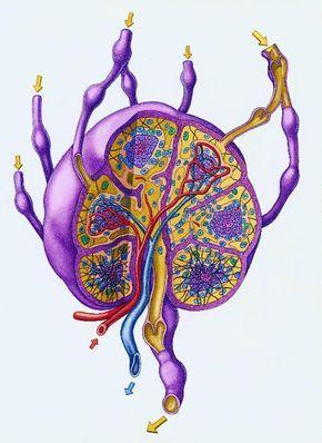 Лимфатическая система – одна из самых сложных и хитро устроенных систем человека. В нашей стране есть всего около 200-300 знающих лимфологов, один из которых поделился с нами своим мнением