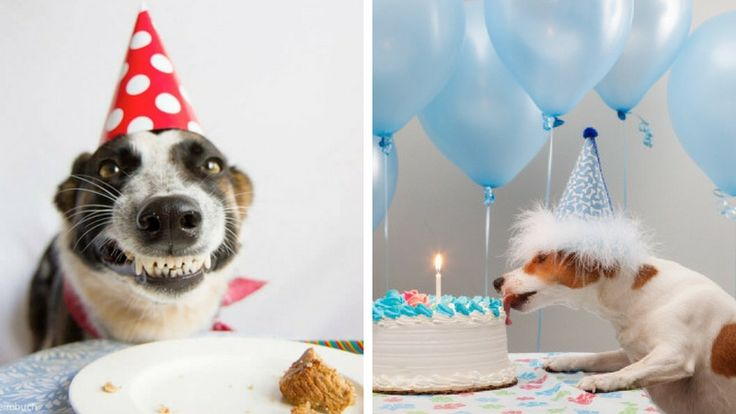 In this gallery is a huge collection of happy birthday dog images and lucky pooches whose humans throw birthday parties for them, with the presents, cakes a #dog #happy #birthday #cakes #dogs #animals