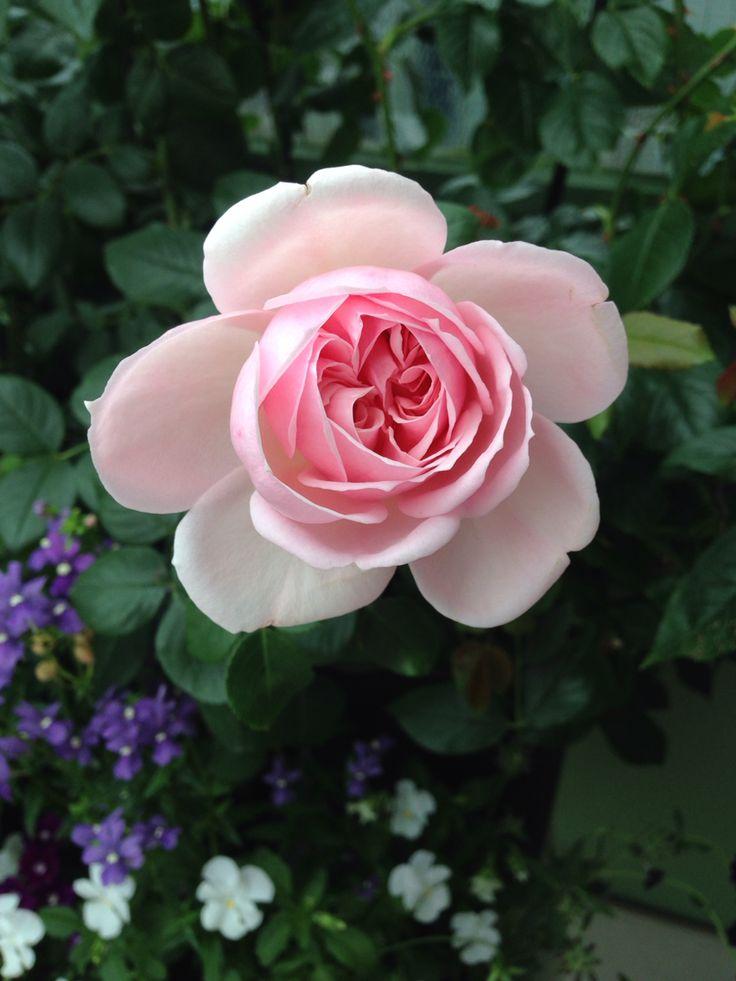 Cinderella rose