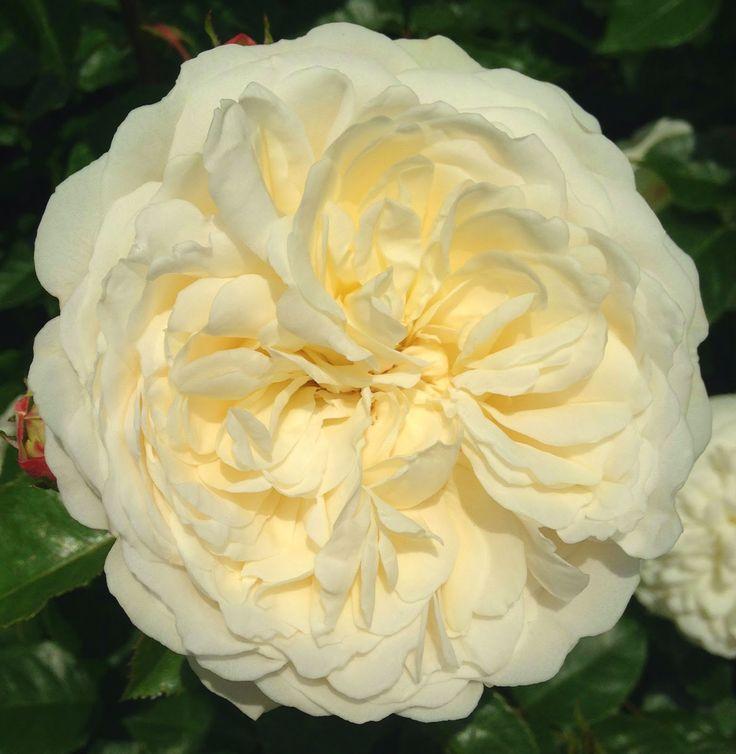 tranquillity ausnoble english musk hybrid david austin page garden stairsdavid austin rosesenglish