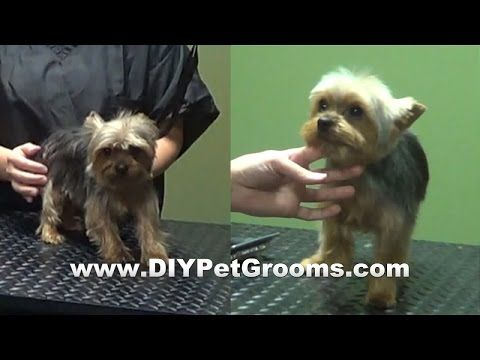 """How to Groom A Yorkshire Terrier """"Yorkie"""" (Puppy Cut) - Do-It-Yourself Dog Grooming - YouTube"""