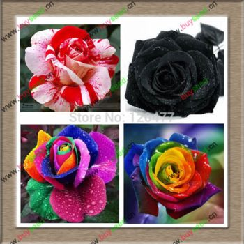 Imports rose seeds  balcony potted plants rose 300 particles succulents
