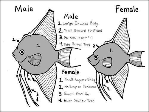 fresh water angelfish papilla pictures | then 2 females may spawn together. So look for the size of papilla ...