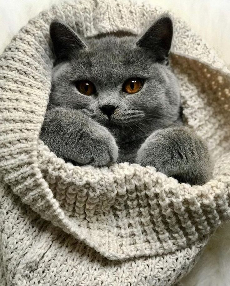"""1,336 vind-ik-leuks, 26 reacties - BSH Cats Care (@_britishshorthaircats_) op Instagram: '""""I'm all cozy today"""" ⠀ BSH Love We SHARE 'Cause We CARE ❤️⠀ Our love goes out to @gustav.paula ⠀…'"""