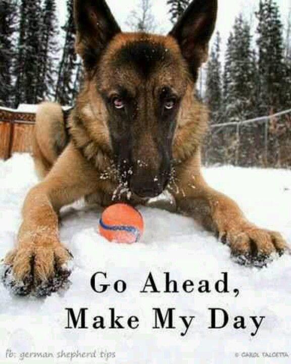 "German Shepherd Dog ~ Make his day...  Love the ""look"""