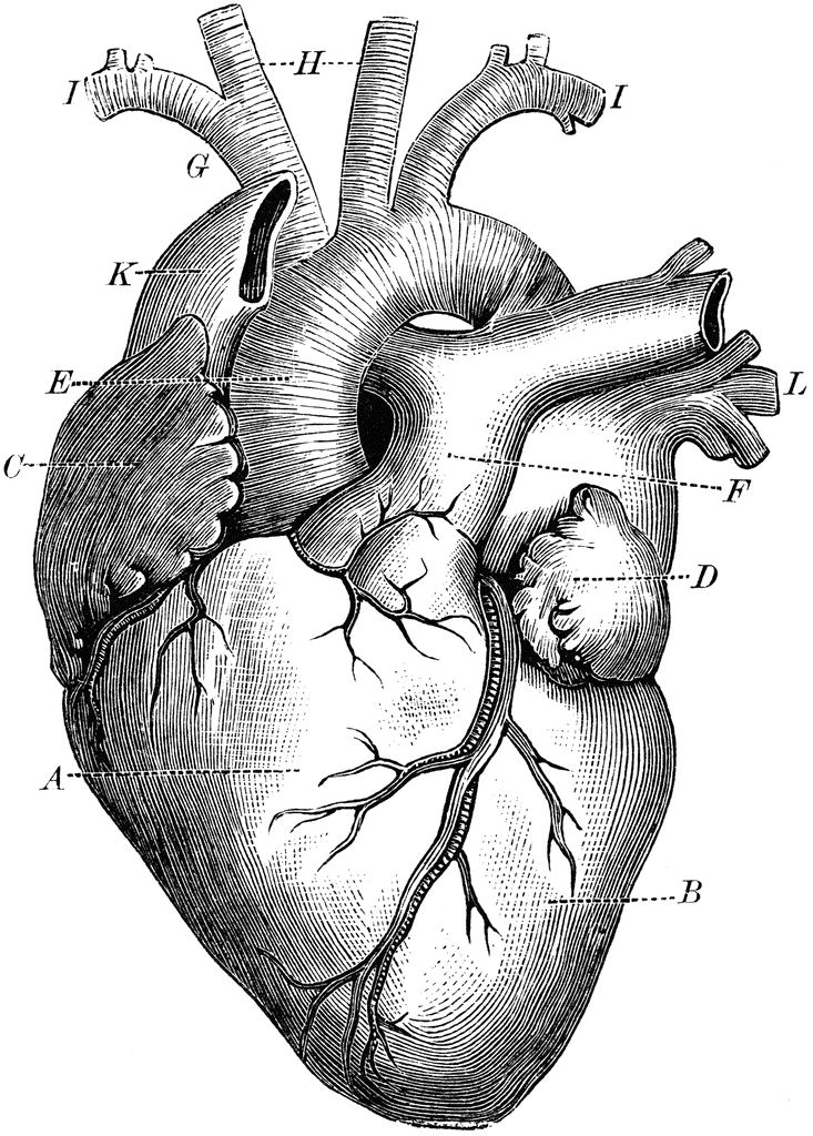 Anatomical heart and tree tattoo heart clipart etc