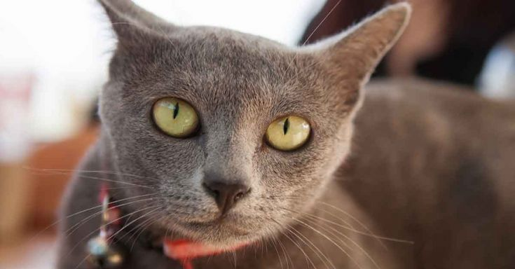 Korat Cats: Traditionally Gifted and Rarely Sold