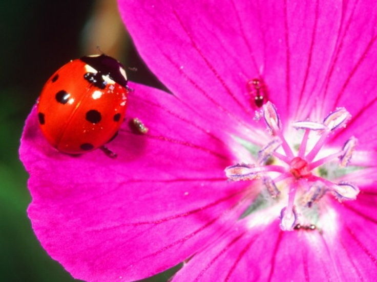 lady bugs bees flowers - photo #9