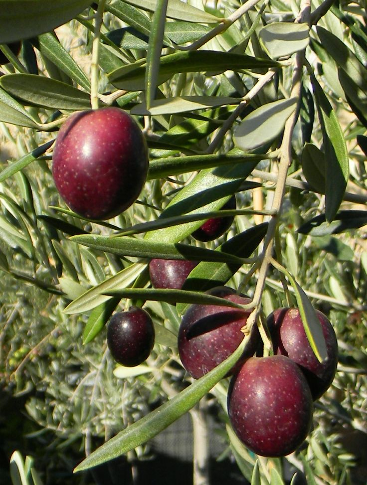 The 25 Best Sweet Olive Tree Ideas On Pinterest Indoor