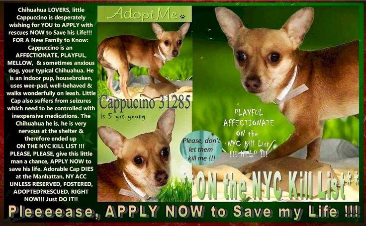 Image may contain dog and text Anxious dog, Chihuahua