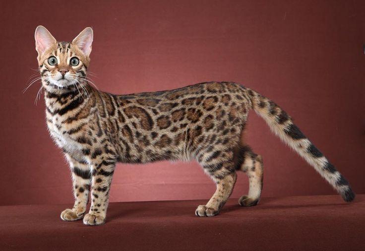 12 видов кошек, о существовании которых знают далеко не все